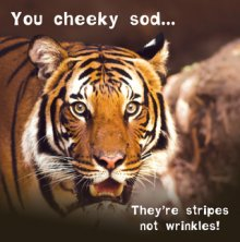 Silly Zoo Stripes Not Wrinkles Birthday Greetings Card